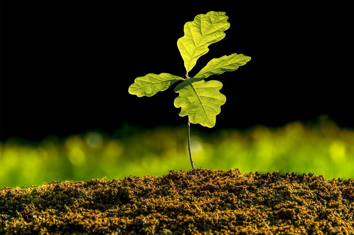 hardwood-seedling